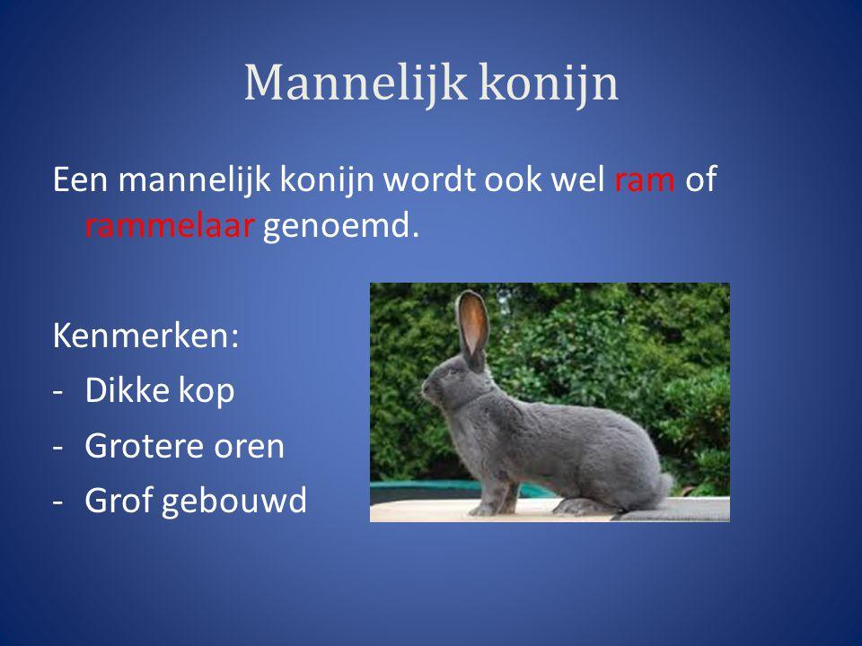 Mannelijk konijn Een mannelijk konijn wordt ook wel ram of rammelaar genoemd. Kenmerken: Dikke kop.