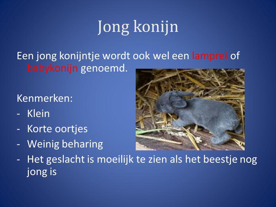 Jong konijn Een jong konijntje wordt ook wel een lamprei of babykonijn genoemd. Kenmerken: Klein.