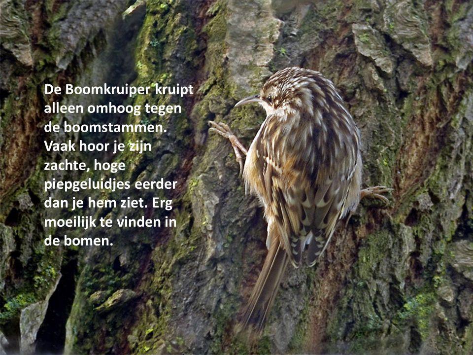 De Boomkruiper kruipt alleen omhoog tegen de boomstammen