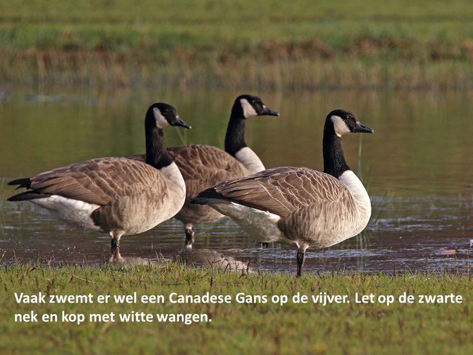 Vaak zwemt er wel een Canadese Gans op de vijver