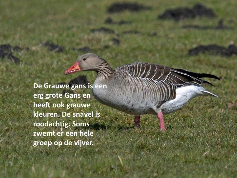 De Grauwe gans is een erg grote Gans en heeft ook grauwe kleuren