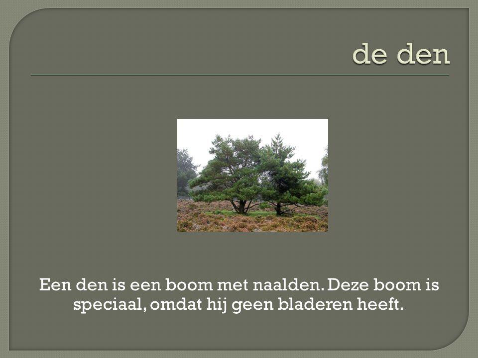 de den Een den is een boom met naalden. Deze boom is speciaal, omdat hij geen bladeren heeft.