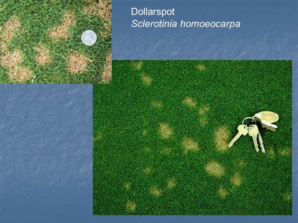 Dollarspot Sclerotinia homoeocarpa