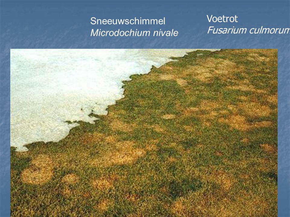 Voetrot Fusarium culmorum Sneeuwschimmel Microdochium nivale