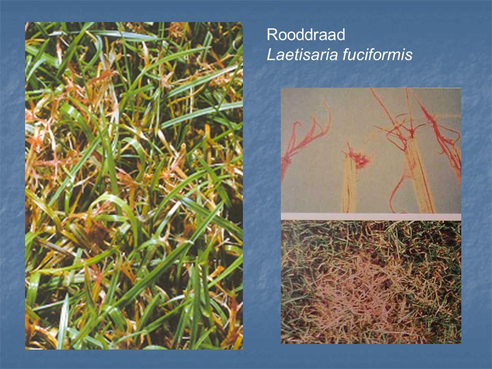 Rooddraad Laetisaria fuciformis