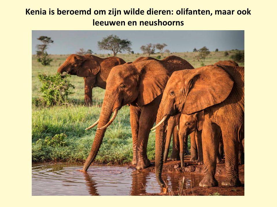 Kenia is beroemd om zijn wilde dieren: olifanten, maar ook leeuwen en neushoorns
