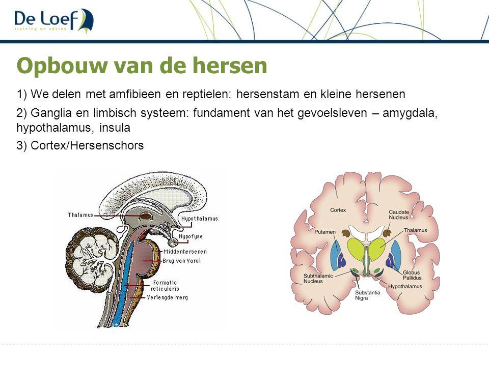 Opbouw van de hersen 1) We delen met amfibieen en reptielen: hersenstam en kleine hersenen.