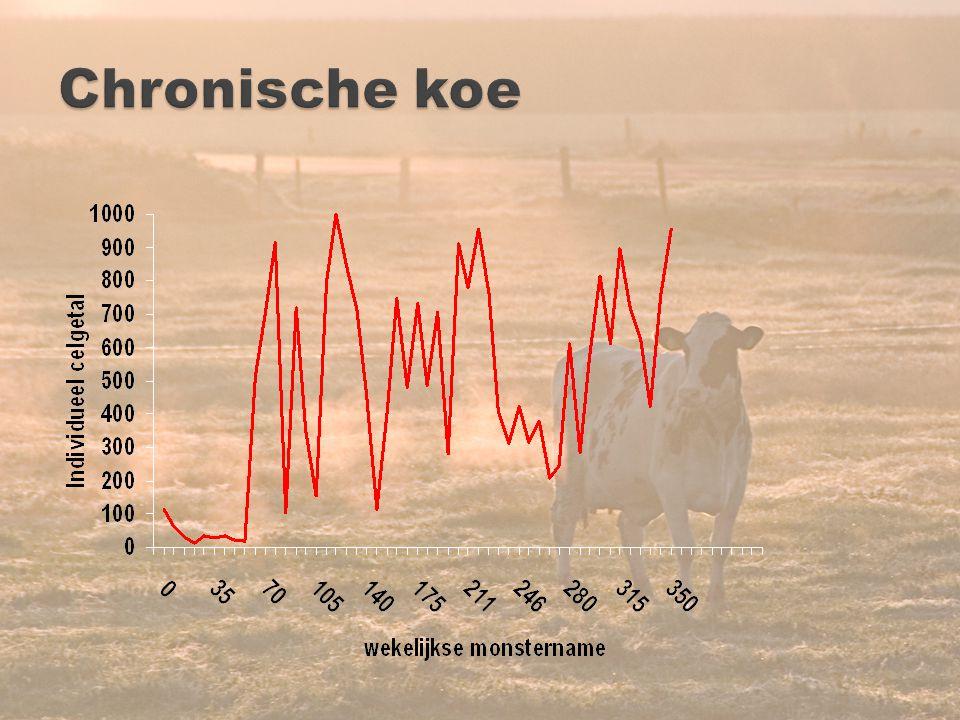 Chronische koe