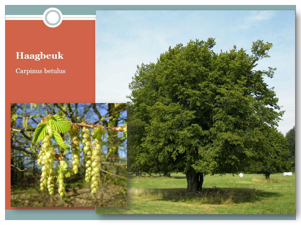 Haagbeuk Carpinus betulus