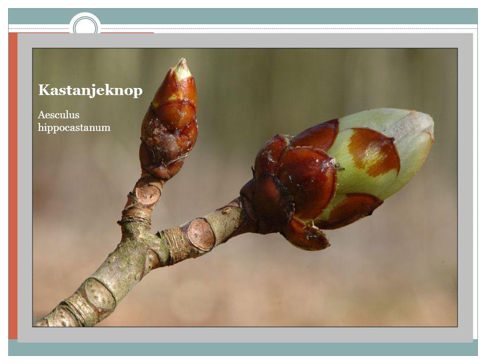 Kastanjeknop Aesculus hippocastanum