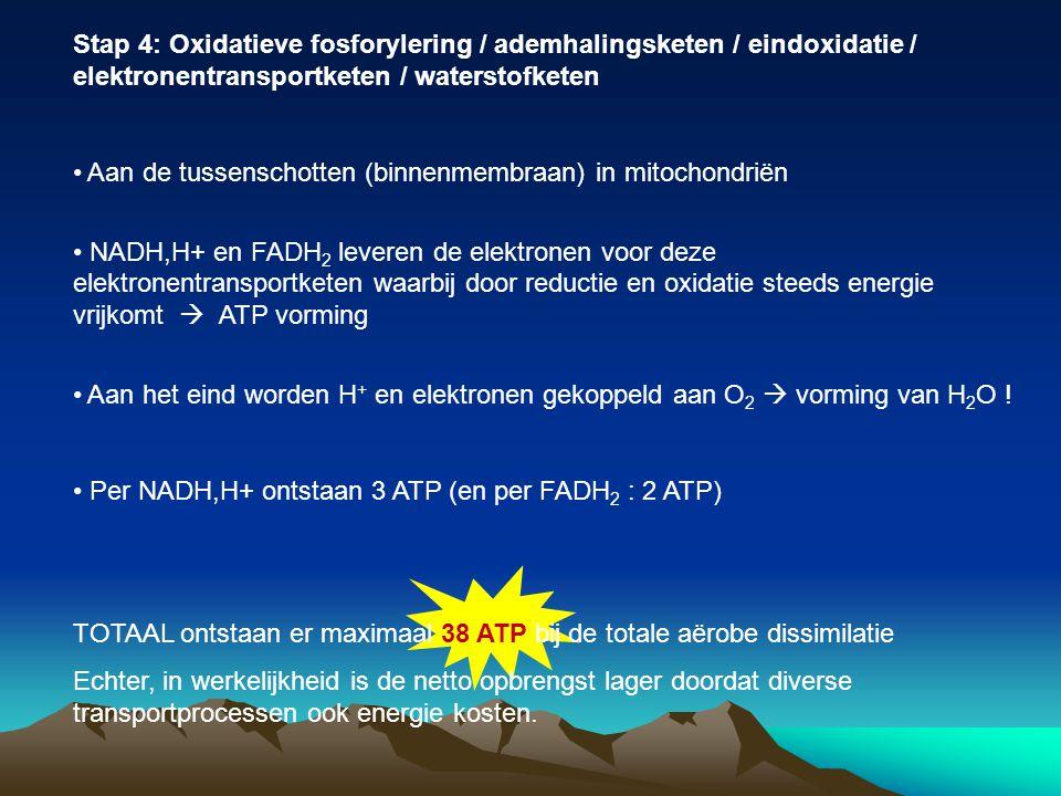 Stap 4: Oxidatieve fosforylering / ademhalingsketen / eindoxidatie / elektronentransportketen / waterstofketen