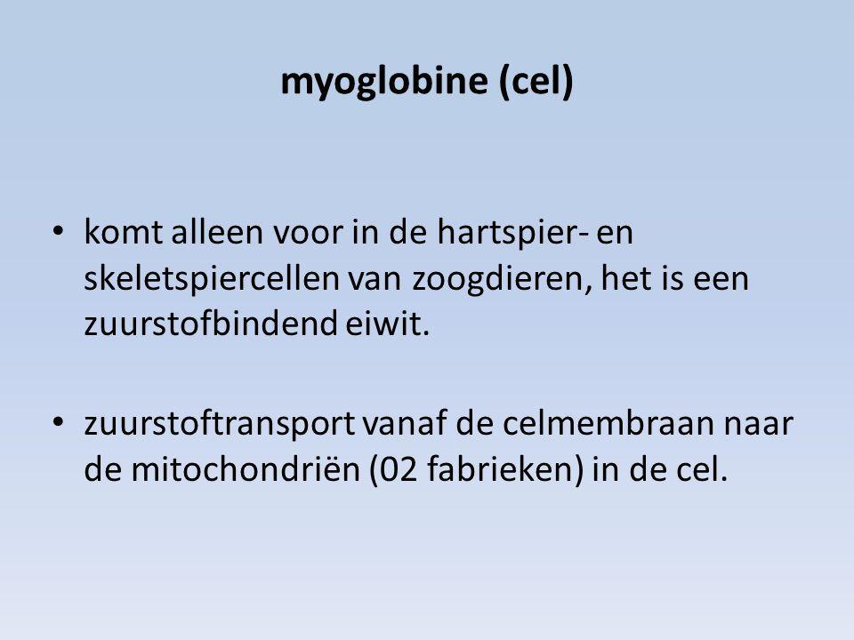 myoglobine (cel) komt alleen voor in de hartspier- en skeletspiercellen van zoogdieren, het is een zuurstofbindend eiwit.