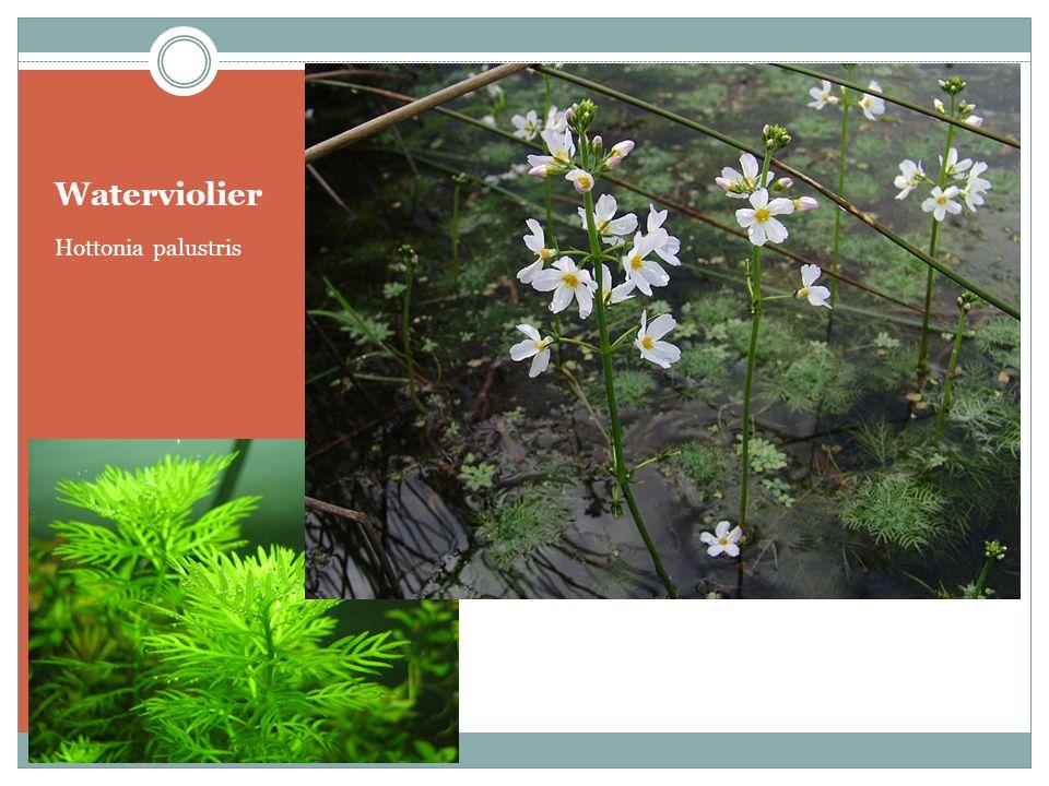 Waterviolier Hottonia palustris