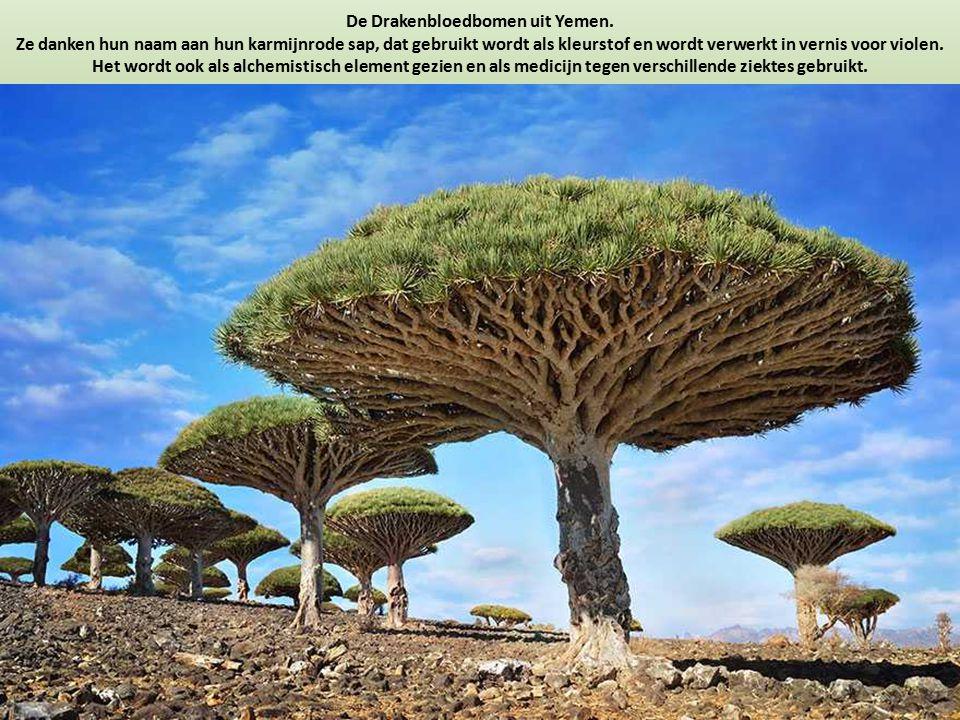 De Drakenbloedbomen uit Yemen