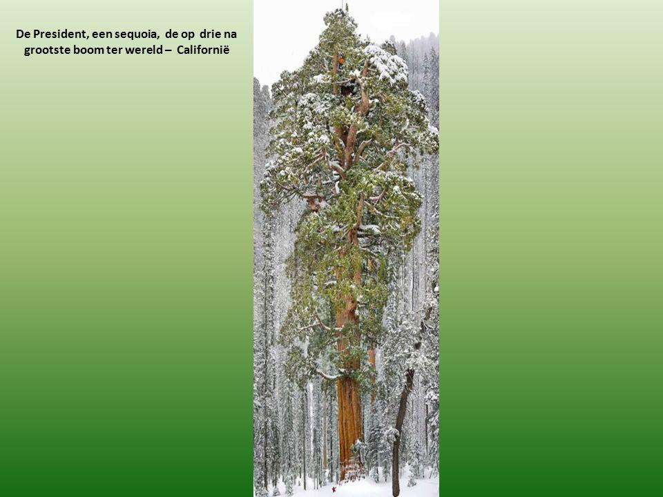 De President, een sequoia, de op drie na grootste boom ter wereld – Californië