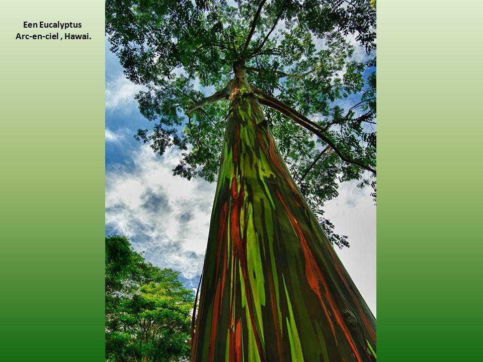 Een Eucalyptus Arc-en-ciel , Hawai.