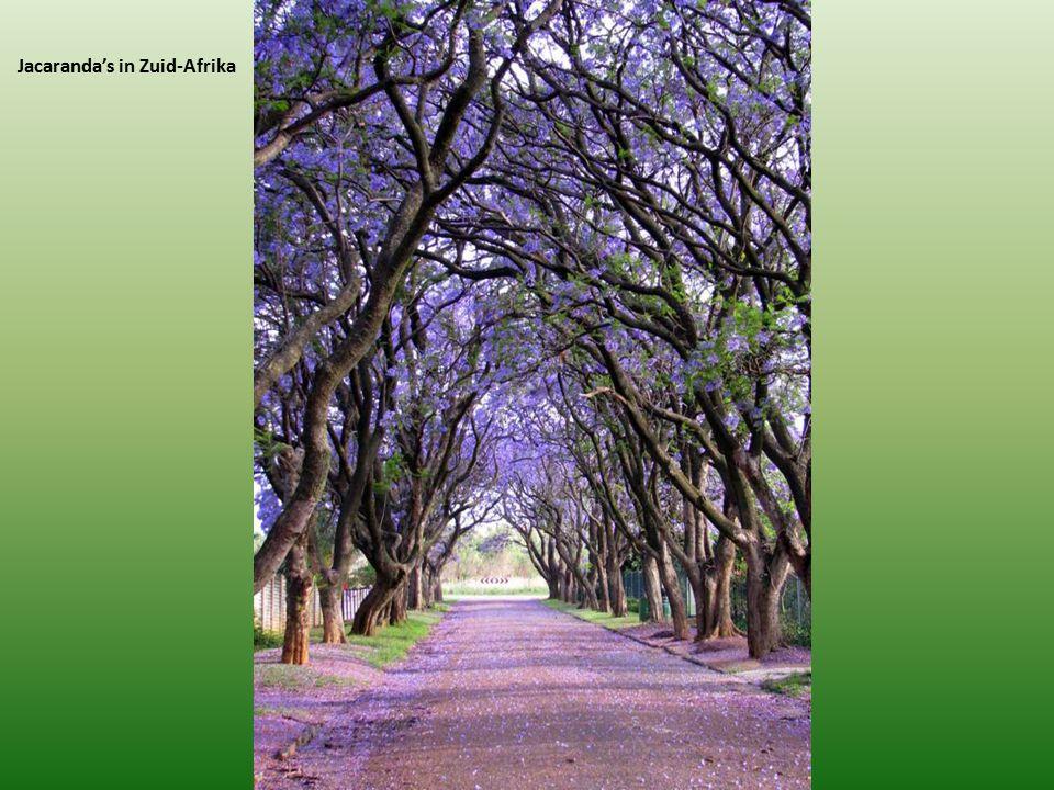 Jacaranda's in Zuid-Afrika