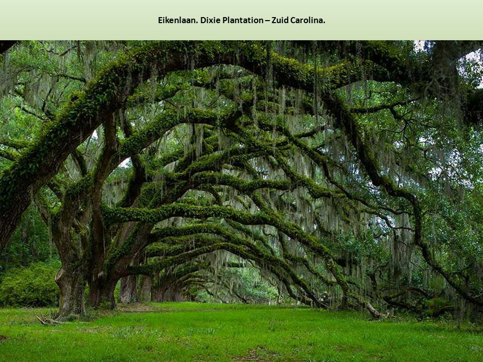 Eikenlaan. Dixie Plantation – Zuid Carolina.