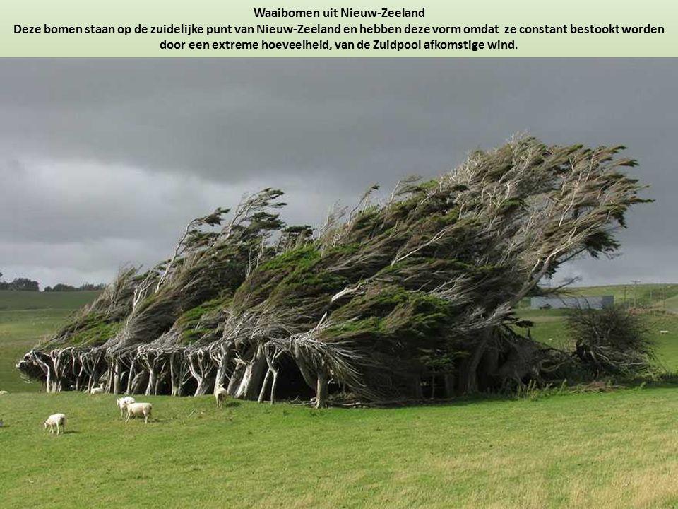 Waaibomen uit Nieuw-Zeeland Deze bomen staan op de zuidelijke punt van Nieuw-Zeeland en hebben deze vorm omdat ze constant bestookt worden door een extreme hoeveelheid, van de Zuidpool afkomstige wind.