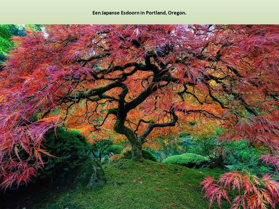 Een Japanse Esdoorn in Portland, Oregon.