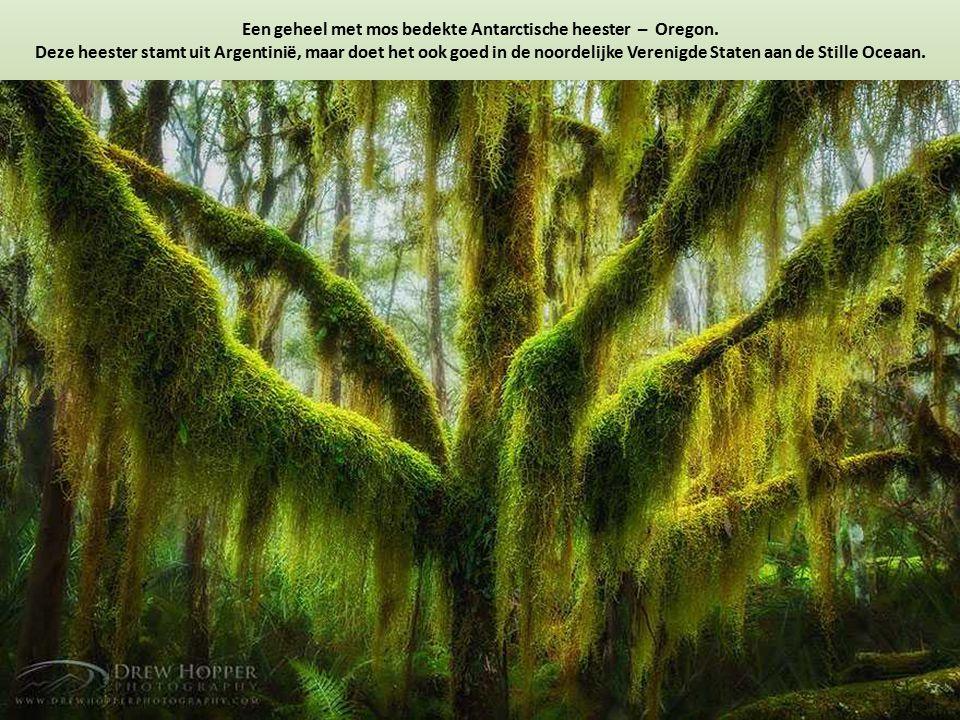 Een geheel met mos bedekte Antarctische heester – Oregon