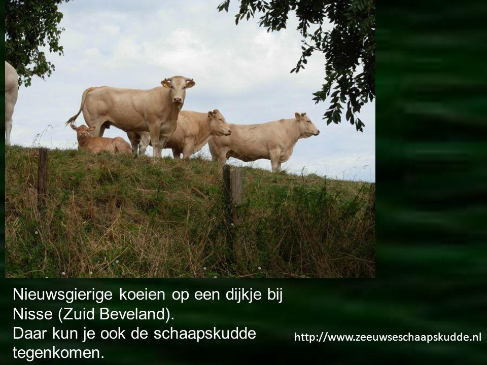 Nieuwsgierige koeien op een dijkje bij Nisse (Zuid Beveland).
