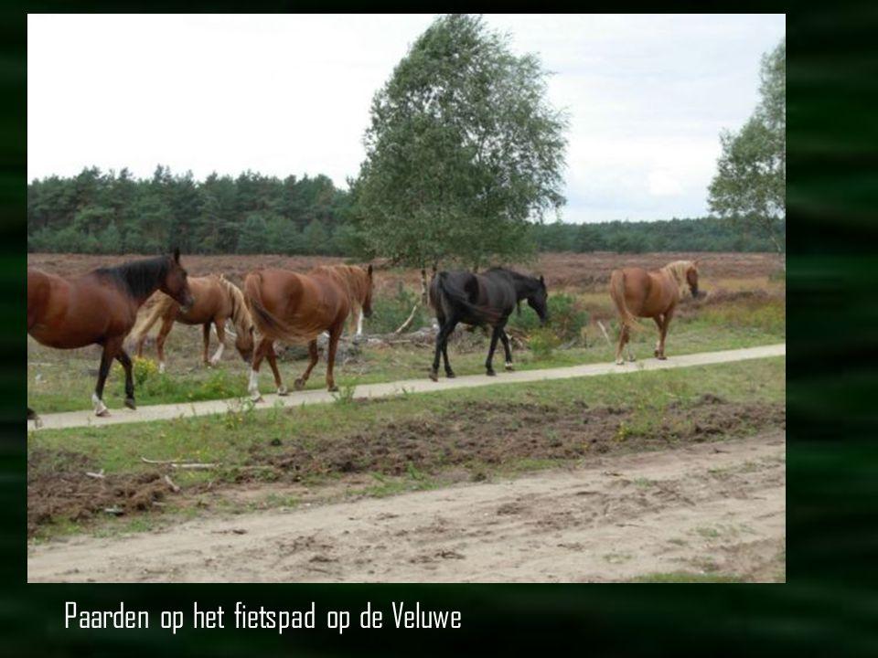 Paarden op het fietspad op de Veluwe