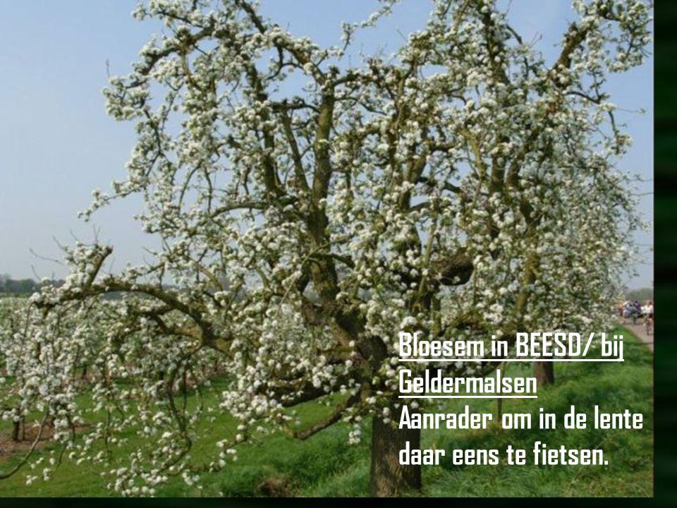 Bloesem in BEESD/ bij Geldermalsen