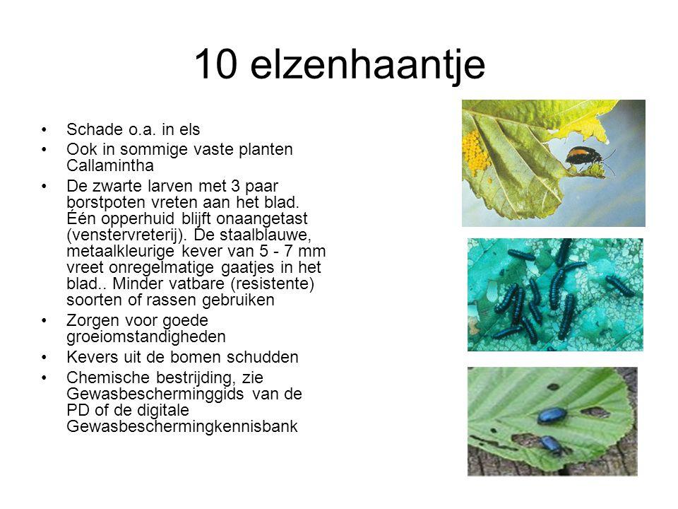 10 elzenhaantje Schade o.a. in els