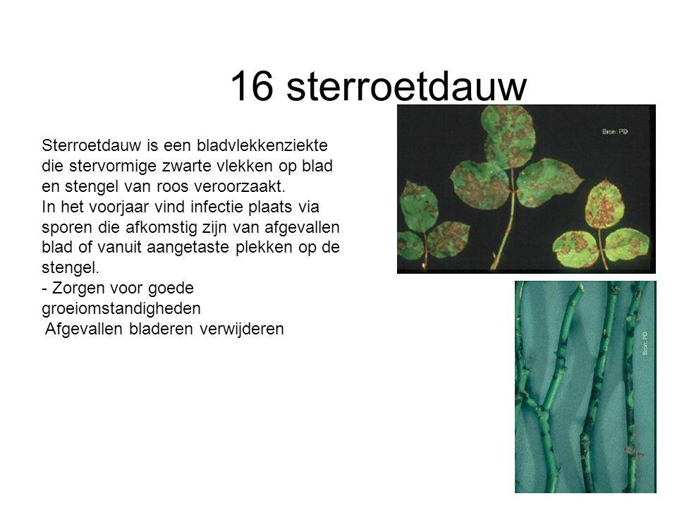16 sterroetdauw Sterroetdauw is een bladvlekkenziekte die stervormige zwarte vlekken op blad en stengel van roos veroorzaakt.