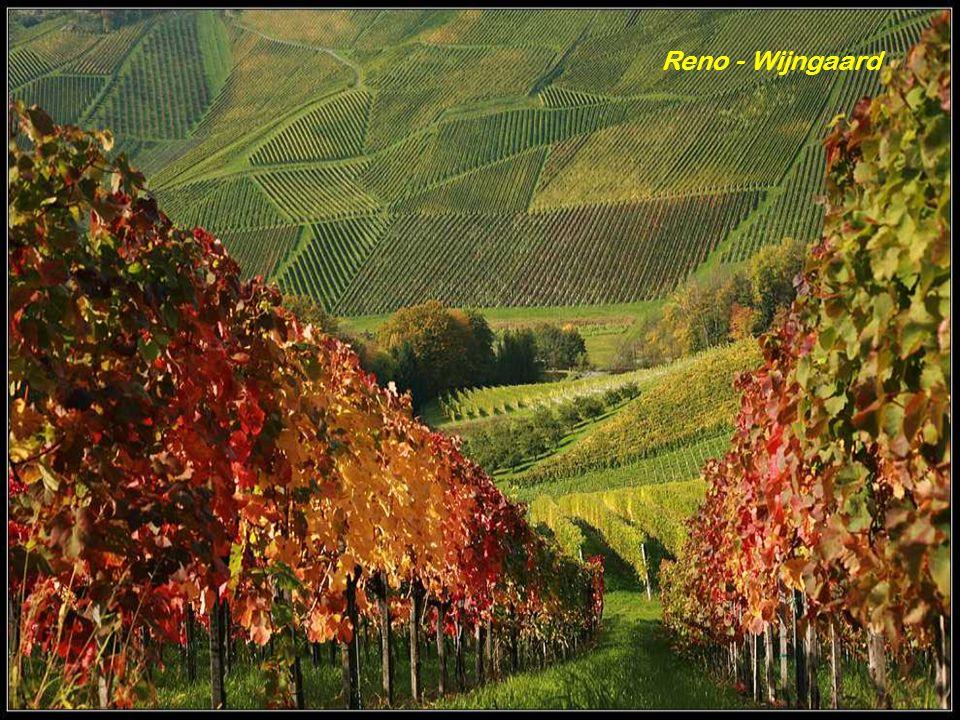 Reno - Wijngaard