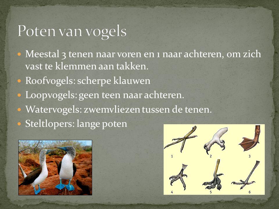 Poten van vogels Meestal 3 tenen naar voren en 1 naar achteren, om zich vast te klemmen aan takken.