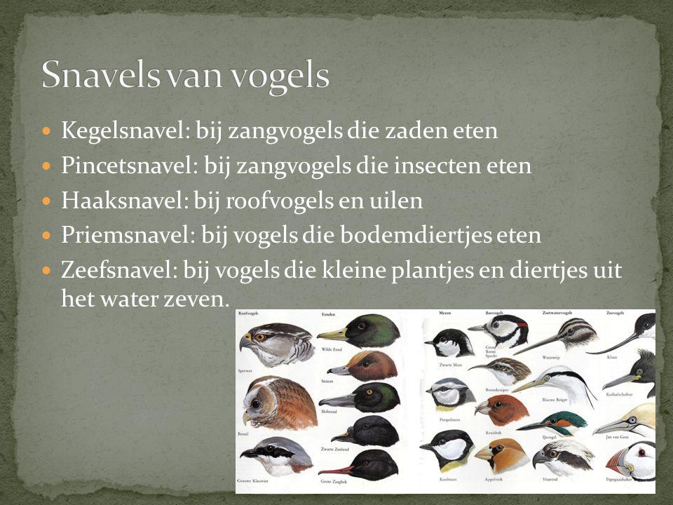 Snavels van vogels Kegelsnavel: bij zangvogels die zaden eten