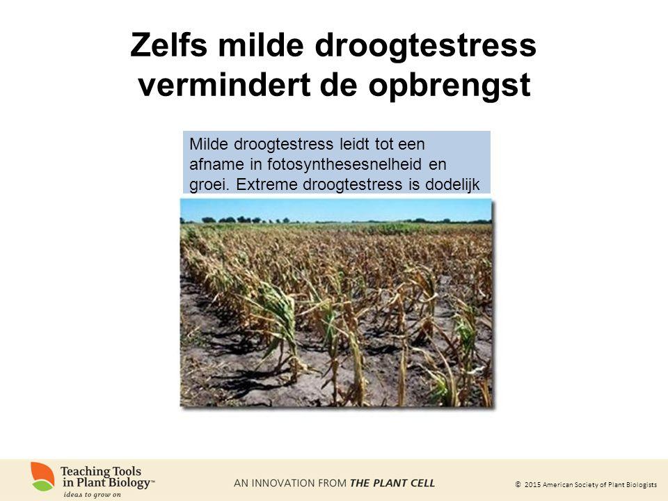 Zelfs milde droogtestress vermindert de opbrengst