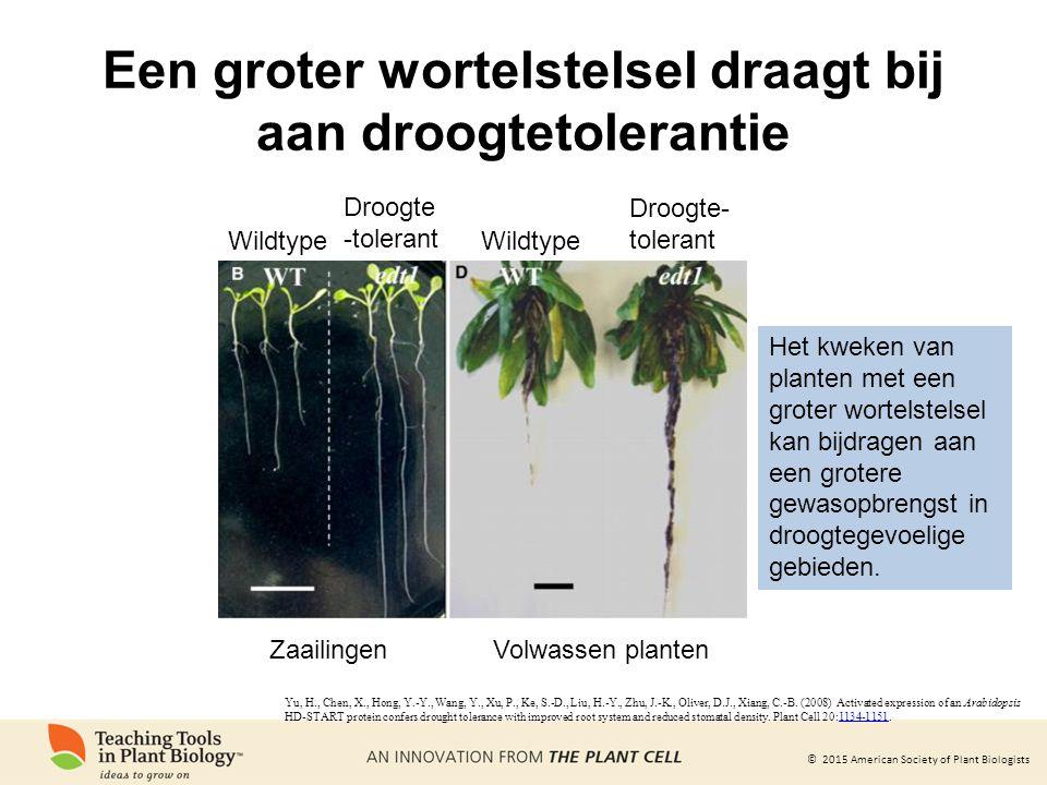 Een groter wortelstelsel draagt bij aan droogtetolerantie