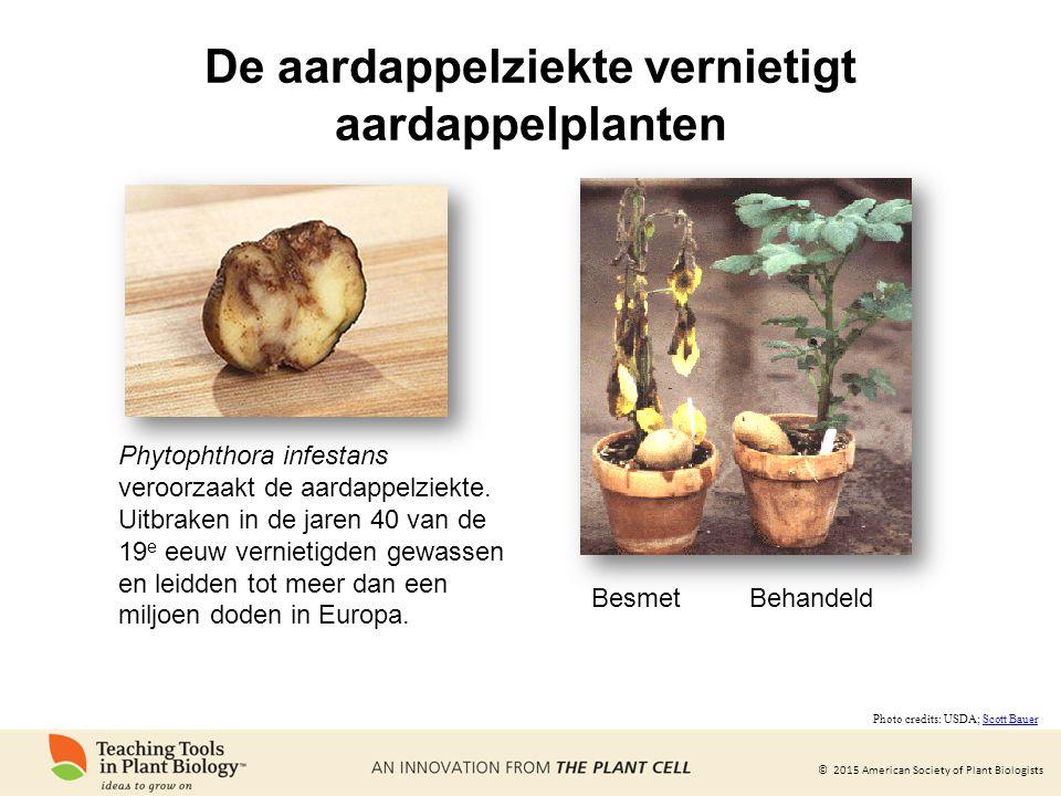 De aardappelziekte vernietigt aardappelplanten
