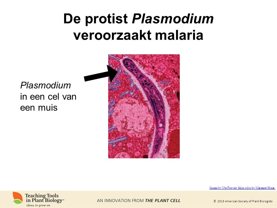 De protist Plasmodium veroorzaakt malaria