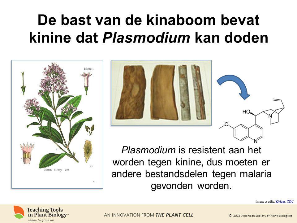 De bast van de kinaboom bevat kinine dat Plasmodium kan doden