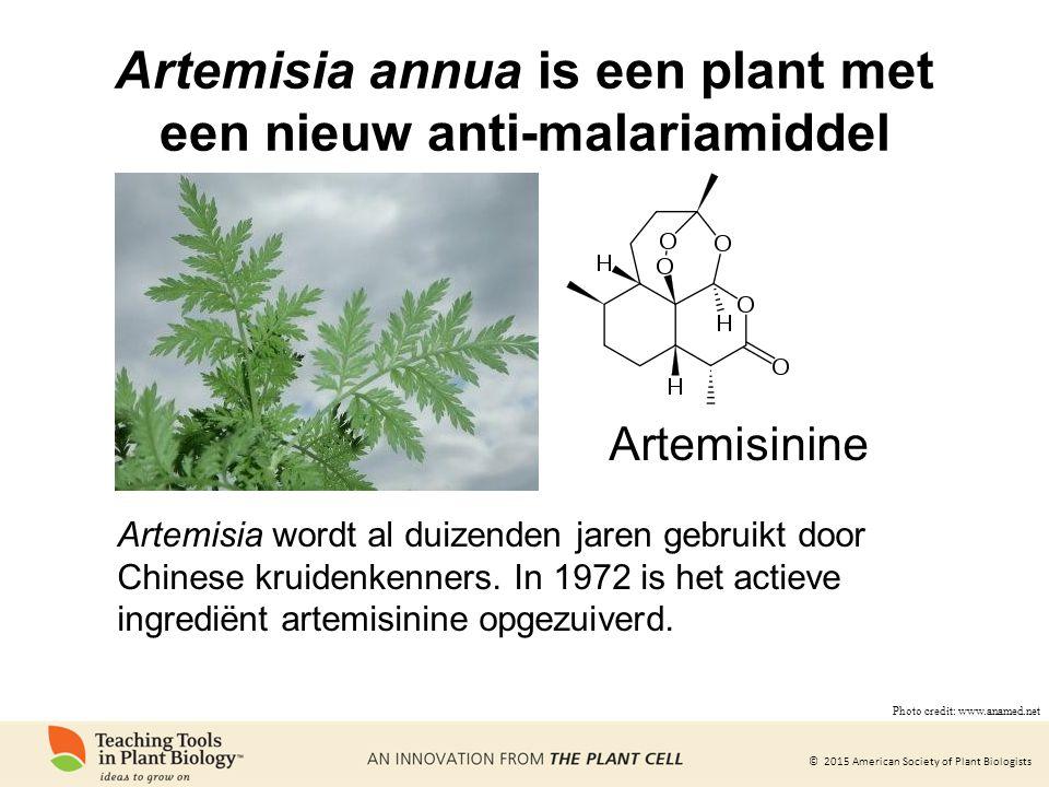 Artemisia annua is een plant met een nieuw anti-malariamiddel