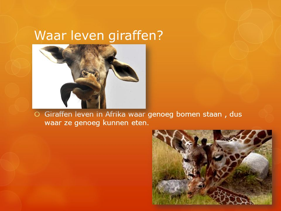 Waar leven giraffen.