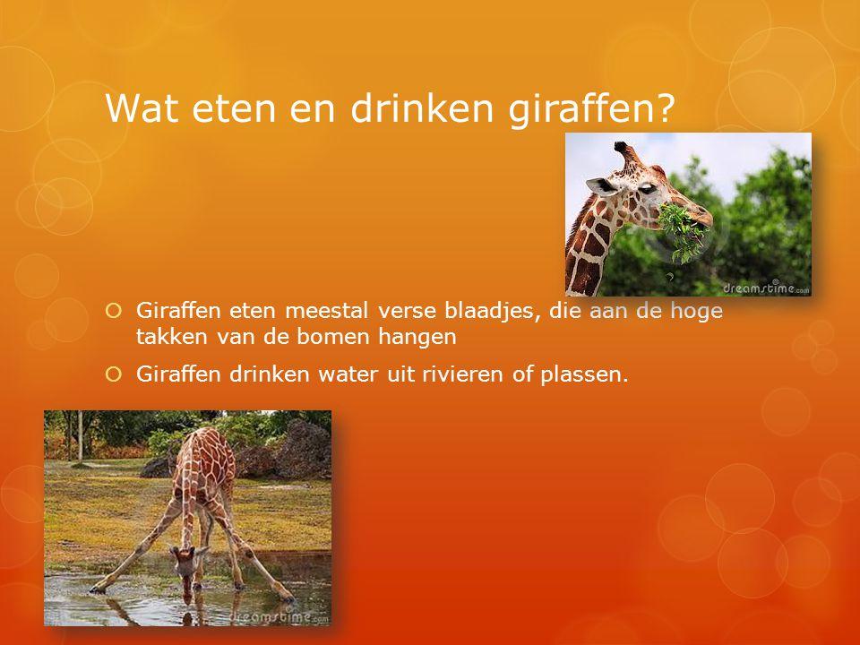 Wat eten en drinken giraffen