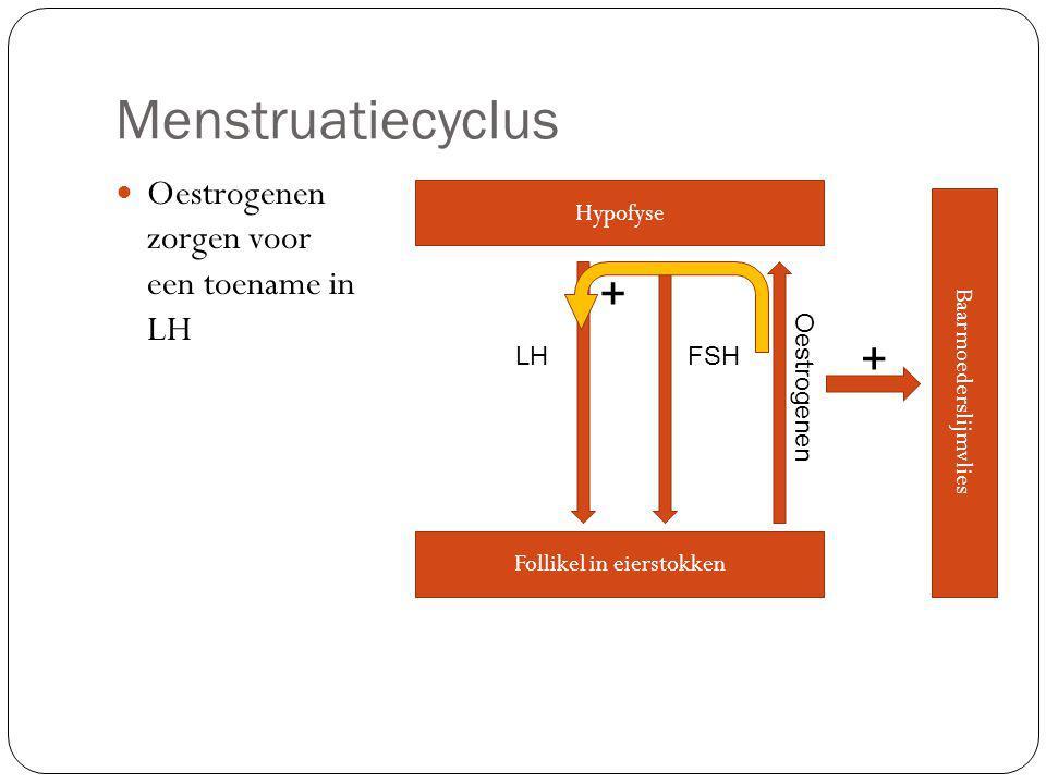 Menstruatiecyclus + + Oestrogenen zorgen voor een toename in LH