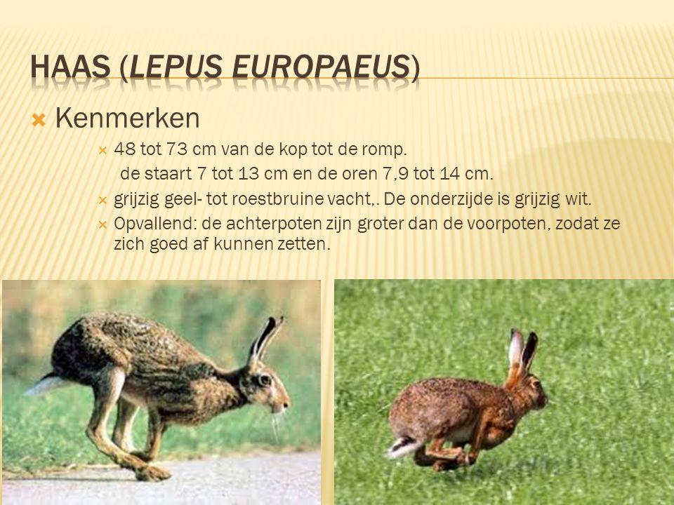 Haas (Lepus europaeus)