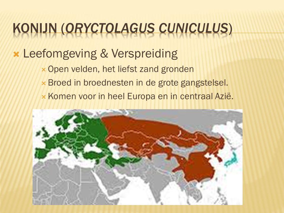 Konijn (Oryctolagus cuniculus)