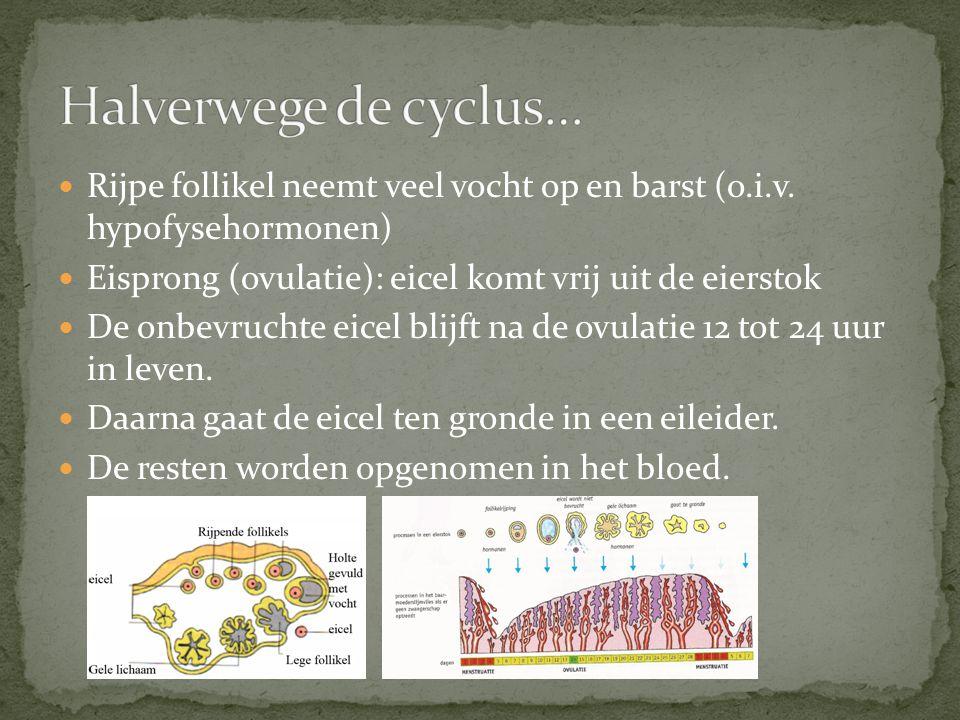 Halverwege de cyclus… Rijpe follikel neemt veel vocht op en barst (o.i.v. hypofysehormonen) Eisprong (ovulatie): eicel komt vrij uit de eierstok.