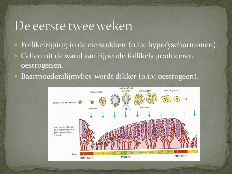 De eerste twee weken Follikelrijping in de eierstokken (o.i.v. hypofysehormonen). Cellen uit de wand van rijpende follikels produceren oestrogenen.