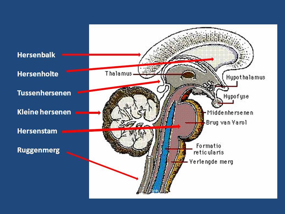 Hersenbalk Hersenholte Tussenhersenen Kleine hersenen Hersenstam Ruggenmerg