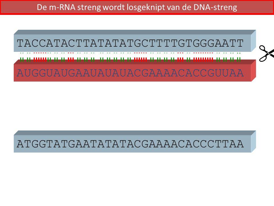 De m-RNA streng wordt losgeknipt van de DNA-streng