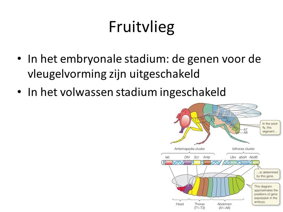 Fruitvlieg In het embryonale stadium: de genen voor de vleugelvorming zijn uitgeschakeld.