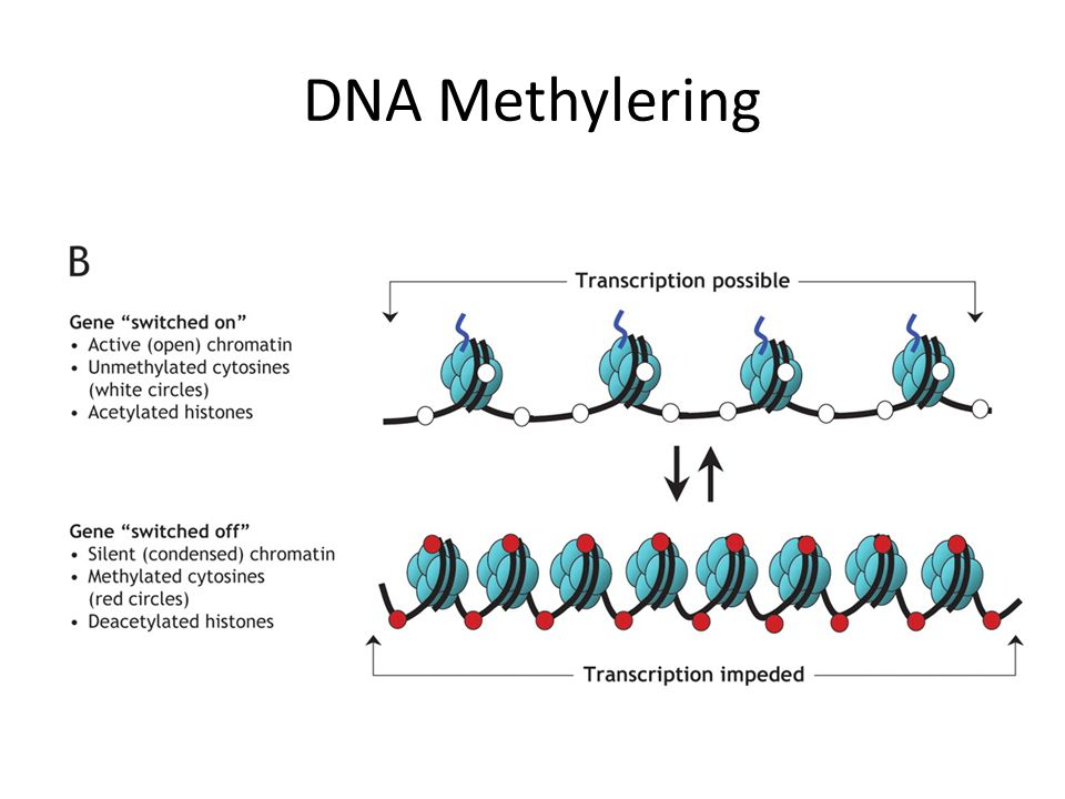 DNA Methylering